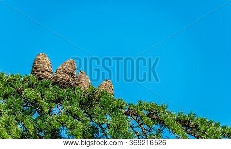 Close-up Of Female Cone On Branch Of Cedar Tree Cedrus Libani Or Lebanon Cedar. Selective Focus. Cop