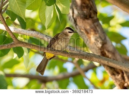 Closeup Yellow Vented Bulbul Perched On Branch Isolated On Background
