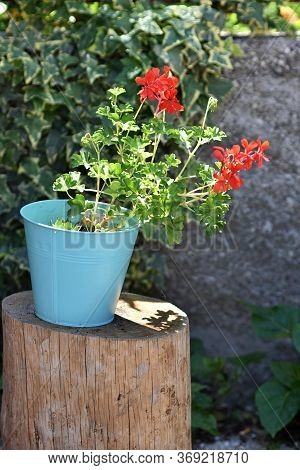 Beautiful Red Geranium Flowers In A Pot On A Green Background. Traditional Mediterranean Flower