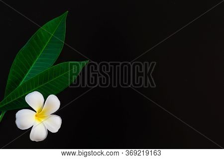 Exotic Frangipani Flowers On A Black Background, White Plumeria, Tropical Plants, Closeup Of Asian F