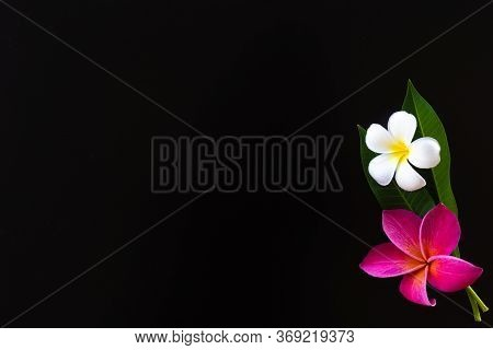 Exotic Frangipani Flowers On A Black Background, Pink And White Plumeria, Tropical Plants, Closeup O