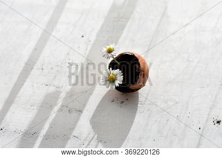 White Daisy Flowers Growing And Soil On White Background. Overhead View Flat Lay Background. Symboli