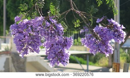 Jacaranda Tree In Full Blossoms And Flowers Against Village Backdrop In Andalusia