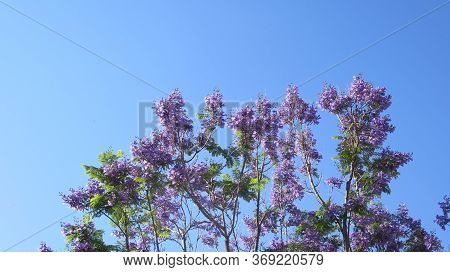 Jacaranda Tree In Full Blossoms And Flowers Against Blue Sky Backdrop In Andalusia