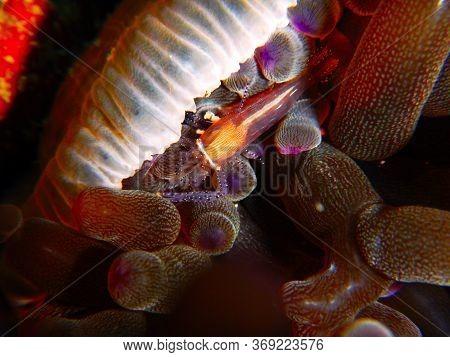 Venus Anemone Shrimp  Underwater In Mabul Island In Malaysia