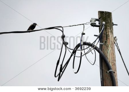 Starling On Hydro Wire