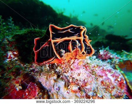 Reticulidia Halgerda Underwater In Mabul Island In Malaysia