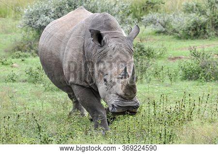 A Closeup Of A White Rhino In The Pilanesberg Game Reserve