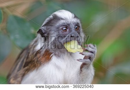 Black And White Color Small Monkey Oedipus Tamarin