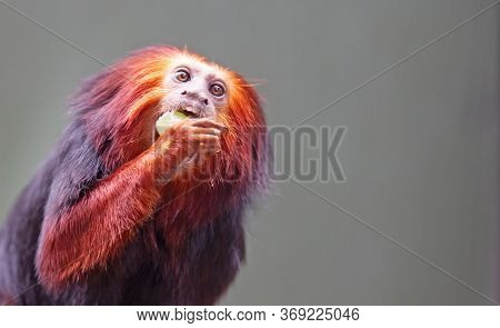 Golden Lion Tamarin / Golden Marmoset - Red Monkey