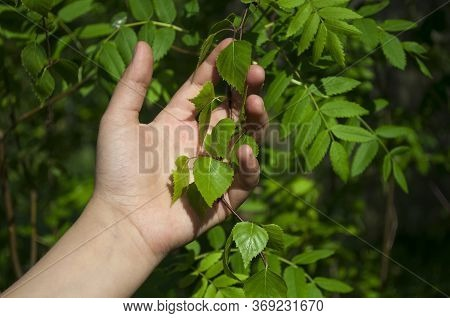 Children's Hand Of A Girl Of 10 Years Holding A Green Branch On A Background Of Green Leaves Of Diff