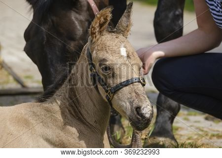 Cute Newborn Colt Lying In Grass On A Spring Day. Mothers Head In The Background, Woman Next To The