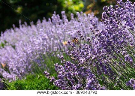 Closeup Of Lavender Flowers. Blooming Lavender Close-up. Beautiful Purple Lavender Flowers In Sunlig