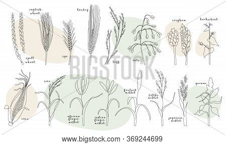 Continuous Line Grain Crops (wheat, Rye, Barley, Oats, Teff, Corn, Millet, Rice, Quinoa, Buckwheat,