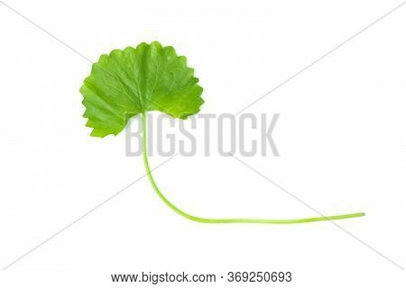 Gotu Kola Is Vegetable Fresh Isolated Contains High Vitamin C And Many Nutrients On White Background