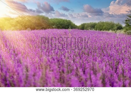 Selective And Soft Focus On Purple Flower, Beautiful Meadow Landscape In Late Afternoon - Dusk, Beau