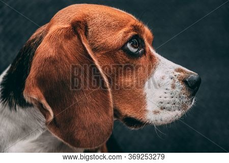 Portrait Photo Of A Beagle Dog Expressively Looking To The Side, On A Gray Blurred Background. Dog F