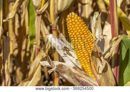 A Dry Unwrapped Ripe Corn Cob In Sunny Illuminated Natural Ambiance