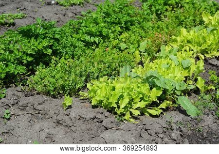Growing Fresh Herbs, Leafy Greens, Parsley, Lettuce, Garden Cress Pepperweed And Radish For Healthy