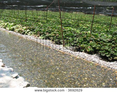 Wasabi Farm In Japan