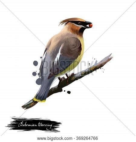 Bohemian Waxwing Digital Art Illustration Isolated On White. Starling-sized Passerine Bird Mainly Bu