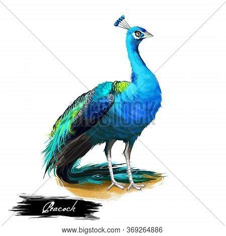 Peacock Digital Art Illustration Isolated On White. Peafowl Pheasants With Extravagant Plumage, Fema