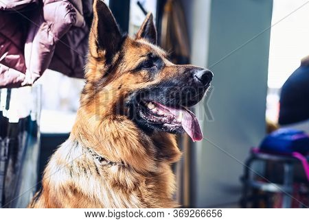 German Sheppard Dog Portrait. German Sheppard Dog In Bar. Close Up Of German Sheppard Dog. German Sh