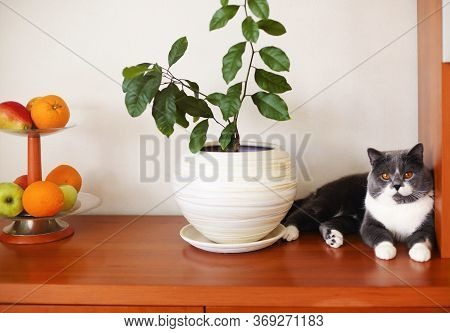 Cute Calm Fluffy Cat Resting On Wooden Shelf Near Green Plant In White Ceramic Pot And Vase With Fre
