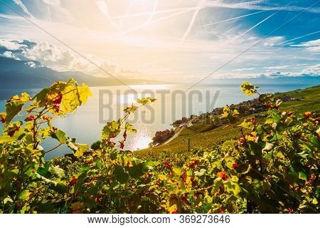 Lavaux, Switzerland: Vine Branches Ripen In The Rays Of The Sun Going Down Over The Lake Geneva, Lav