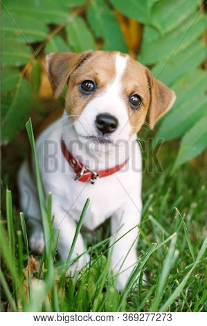 A small white dog puppy breed Jack Russel Terrier with beautiful eyes on green lawn near home. Dogs and pet photography