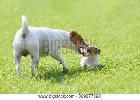 A small white dog puppy breed Jack Russel Terrier with his dad on green lawn. Dogs and pet photography