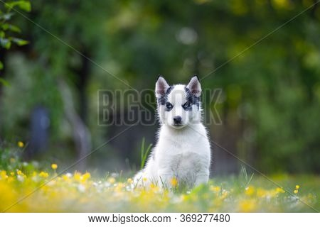 A small white dog puppy breed siberian husky with beautiful blue eyes in blooming spring garden. Dogs and pet photography