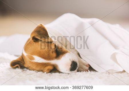 A small white dog puppy breed Jack Russel Terrier with beautiful eyes sleeping on white carpet. Dogs and pet photography