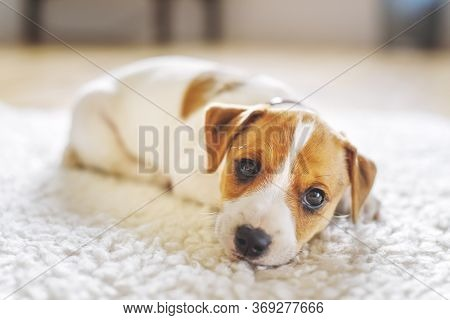 A small white dog puppy breed Jack Russel Terrier with beautiful eyes lays on white carpet. Dogs and pet photography
