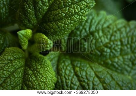 Green Fresh Leaves Of Mint, Lemon Balm Close-up Macro Shot. Mint Leaf Texture. Ecology Natural Layou