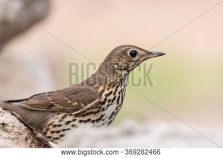Song Thrush (turdus Philomelos) Is A Little And Beautiful Bird Of The Family Of Turdidae.