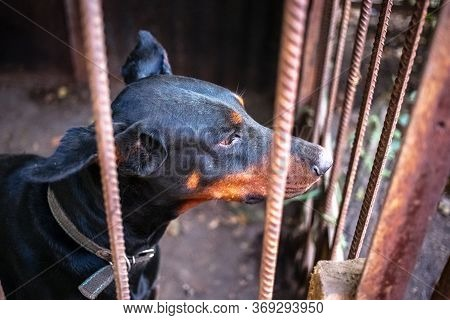 Big Adult Doberman In The Old Aviary.