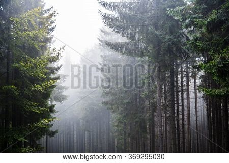 Forest In The Fog. Coniferous Forest. Green Forest. Transcarpathia. Old Trees In Coniferous And Leaf