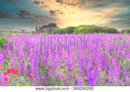 Field Of Purple Flowers, Beautiful Meadow Landscape In Late Afternoon - Dusk, Beautiful Nature In Sp