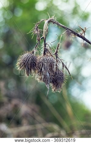 Spiny Dry Weed. Dry Silybum Marianum Flowering On A Sunny Day In The Wild Nature. Dead And Dry Thist
