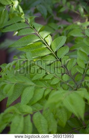 Lawsonia Inermis, Also Known As Hina, The Henna Tree, The Mignonette Tree, And The Egyptian Privet,
