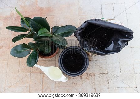 Tools For Repotting A Ficus Elastica Plant. Changing The Old And Small Pot, To Grow More. Bag Of Soi