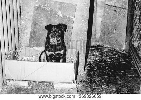 Little Cute Rottweiler Puppy In An Aviary. Monochrome Photo.