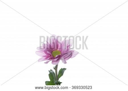 Chrysanthemum Barolo Purple, Pink. Close Up Beautiful Flower Isolated On White Studio Background. De