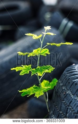 A Young Green Tree Makes Its Way Through A Bunch Of Old Car Tires. A Bunch Of Old Tires From Used Ca
