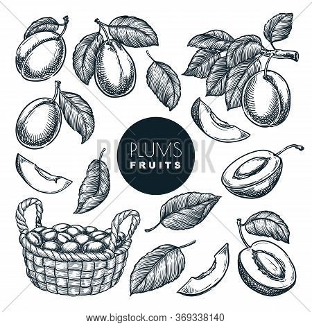 Plums In Basket, Sketch Vector Illustration. Fruits Harvest, Hand Drawn Garden Agriculture Isolated