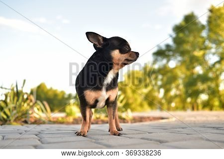 Little Chihuahua In The Park. Chihuahua Dog For A Walk. Chihuahua Brown. Dog In The Summer Walks In