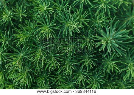 Spring Greens. Vegetable Green Background. Euphorbia Cyparissias - Cypress Spurge..