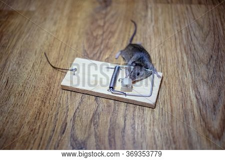 Dead Mouse In A Mousetrap On The Floor