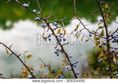 Blackthorn Bush With Ripe Berries On A Background Of The River.